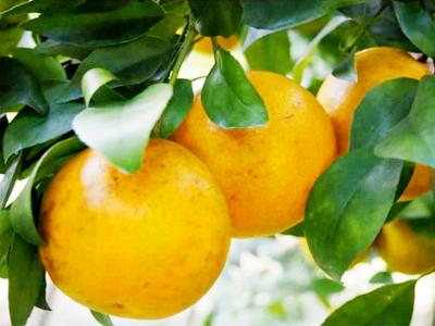 ส้มสีทองทุ่งช้าง น่าน